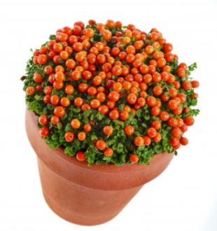 Coral bead plant picture