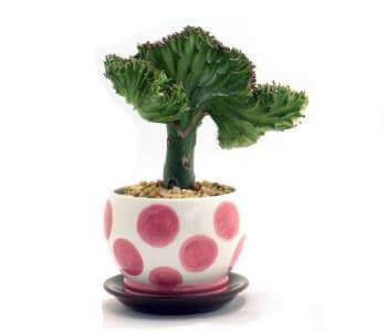 Coral cactus eurphorbia lactea crest Weird plants to grow indoors