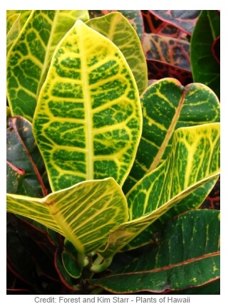 Picture of croton plant