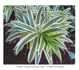 Picture of a dracaena reflexa