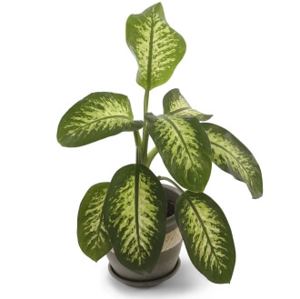 Picture of dumb cane plant
