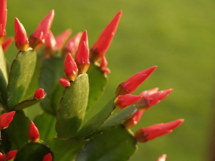 Easter Cactus Buds Appeared