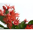 Easter Cactus plant picture