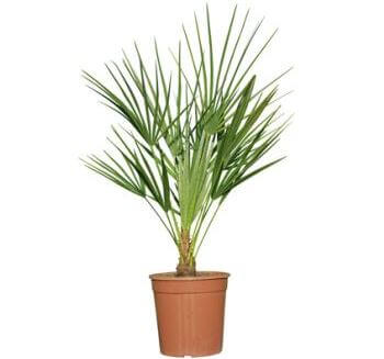 Picture of European palm
