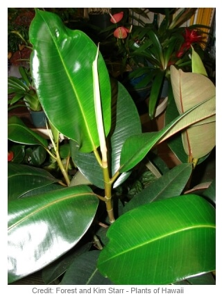 rubber plant ficus elastica care and growing information. Black Bedroom Furniture Sets. Home Design Ideas