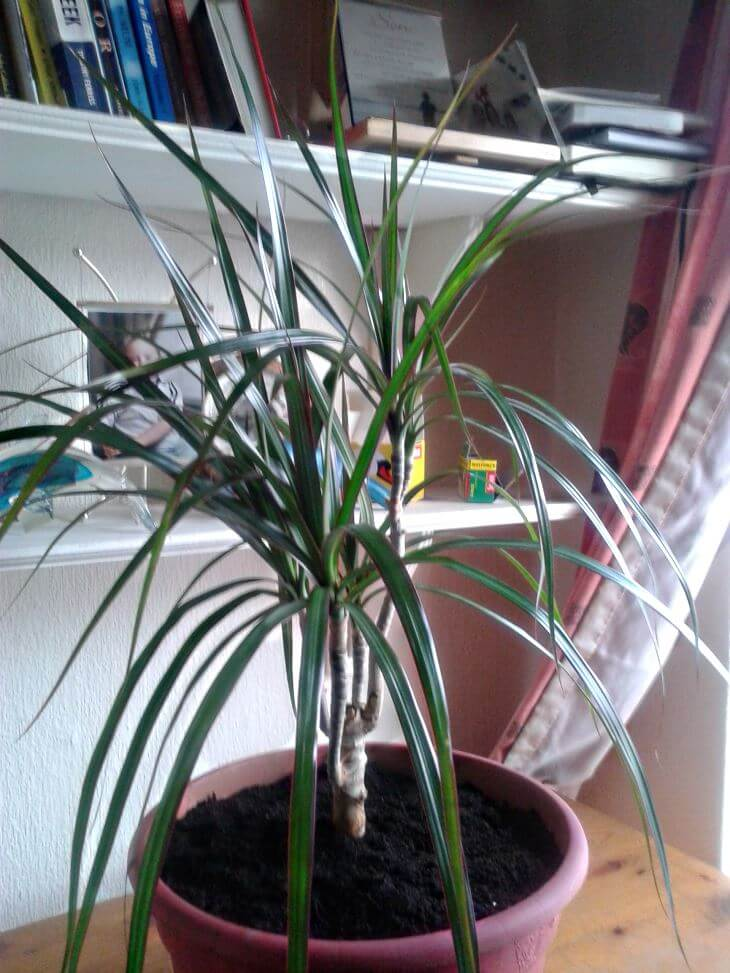 finished-pruning Palm Looking House Plant on palm like plant thin leaves, spider mites on palm plant, palm house plant identification, palm plants care of,
