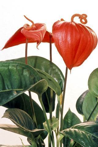 Flamingo flower plant picture