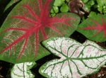 Caladium heart of jesus plant