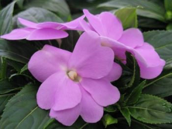 grown for their attractive blooms outdoors just about everywhere and indoors when given enough bright light - Flowering House Plants Identification