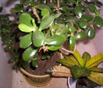 Ariel view of a potted jade plant
