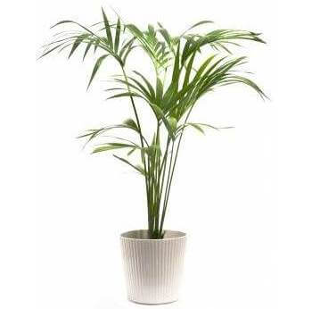 Indoor Palm Plants Home · indoor palm plants