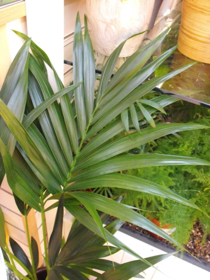 kentia_palm_leaves Palm Indoor Houseplants on palm flowers, palm shrubs, palm trees, palm indoor seeds,