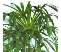 lady palm picture - House Plant Identification Guide By Picture