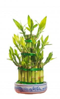 Lucky Bamboo Plant - Dracaena unii on succulents houseplants, orchid houseplants, bromeliads houseplants, cactus houseplants, ivy houseplants, ferns houseplants, tree houseplants, butterfly houseplants, palms houseplants,