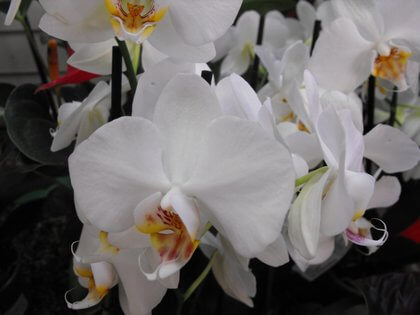 Moth Orchid Phalaenopsis Growing Amp Care