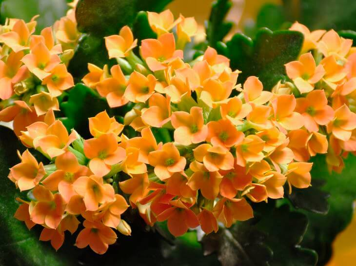 Orange kalanchoe flowers