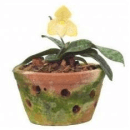 Picture Of The One Colored Paphiopedilum Concolor