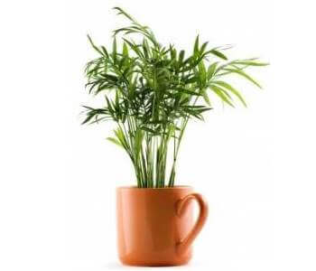 picture of parlor palm in pot