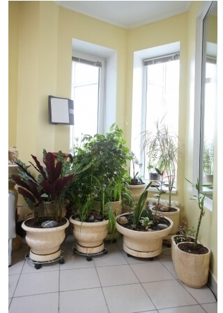 Plants in a group sitting near windows