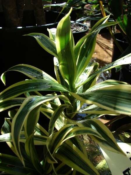 Dracaena Song Of India Plant Dracaena Reflexa