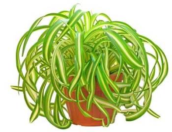 picture of spider plant