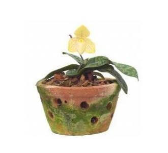 Picture of Paphiopedilum Concolor