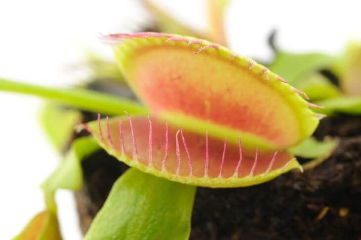 Close up picture of fly trap leaf open