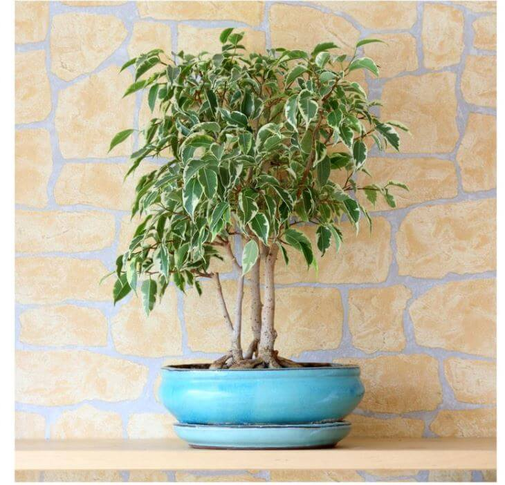 Bonsai Type Weeping Fig With Variegated Leaves