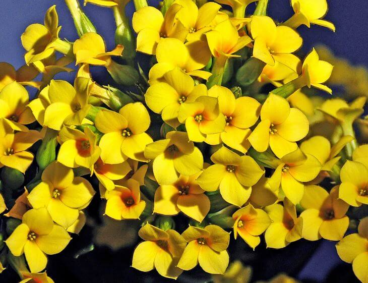 Yellow Kalanchoe Flowers