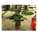 Picture of woman in shop holding a zebra plant for sale