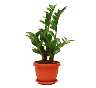 ZZ Plant - Zamioculcas Zamiifolia - Description And Care Guide