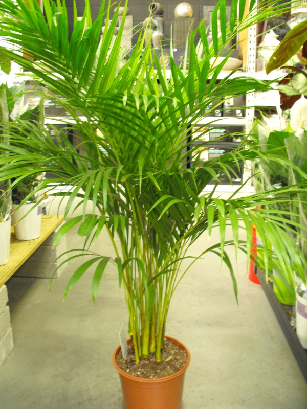 Areca palm butterfly palm dypsis lutescens Weird plants to grow indoors