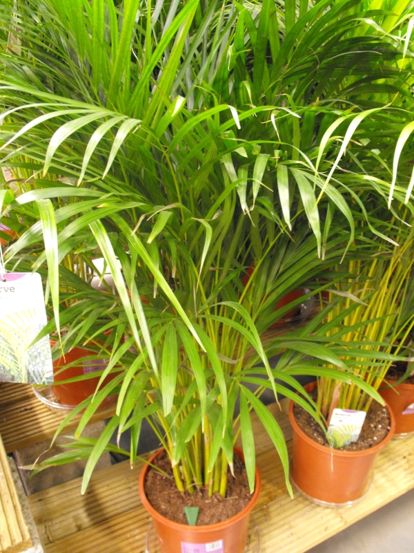 Picture of areca palms