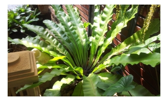 Picture of birds nest fern