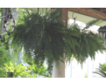 Boston ferns in hanging baskets