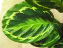 Rose Painted Calathea