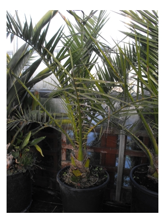 Picture of canary date palm