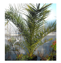 Canary Island Date Palm Picture