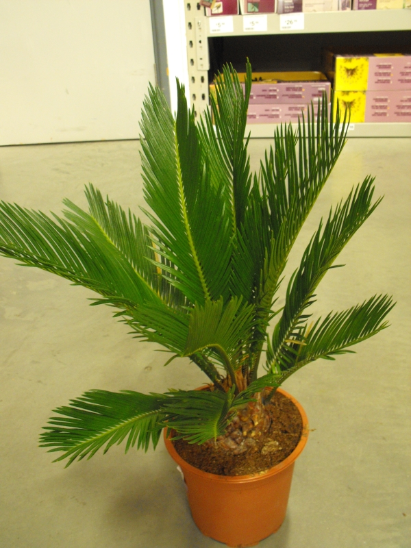 Sago Palm Cycas Revoluta Care And Growing Indoors