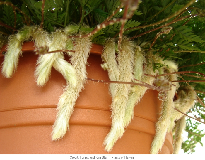 Rabbit's Foot Fern - Davallia Fejeensis - Indoor Care And ... on