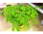 Maidenhair Fern In Garden Center