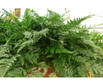 Picture Of Rabbit's Foot Fern
