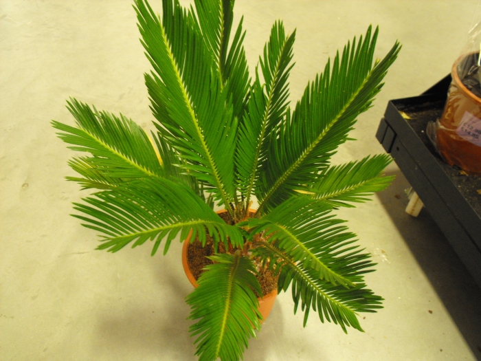 aerial view of sago palm
